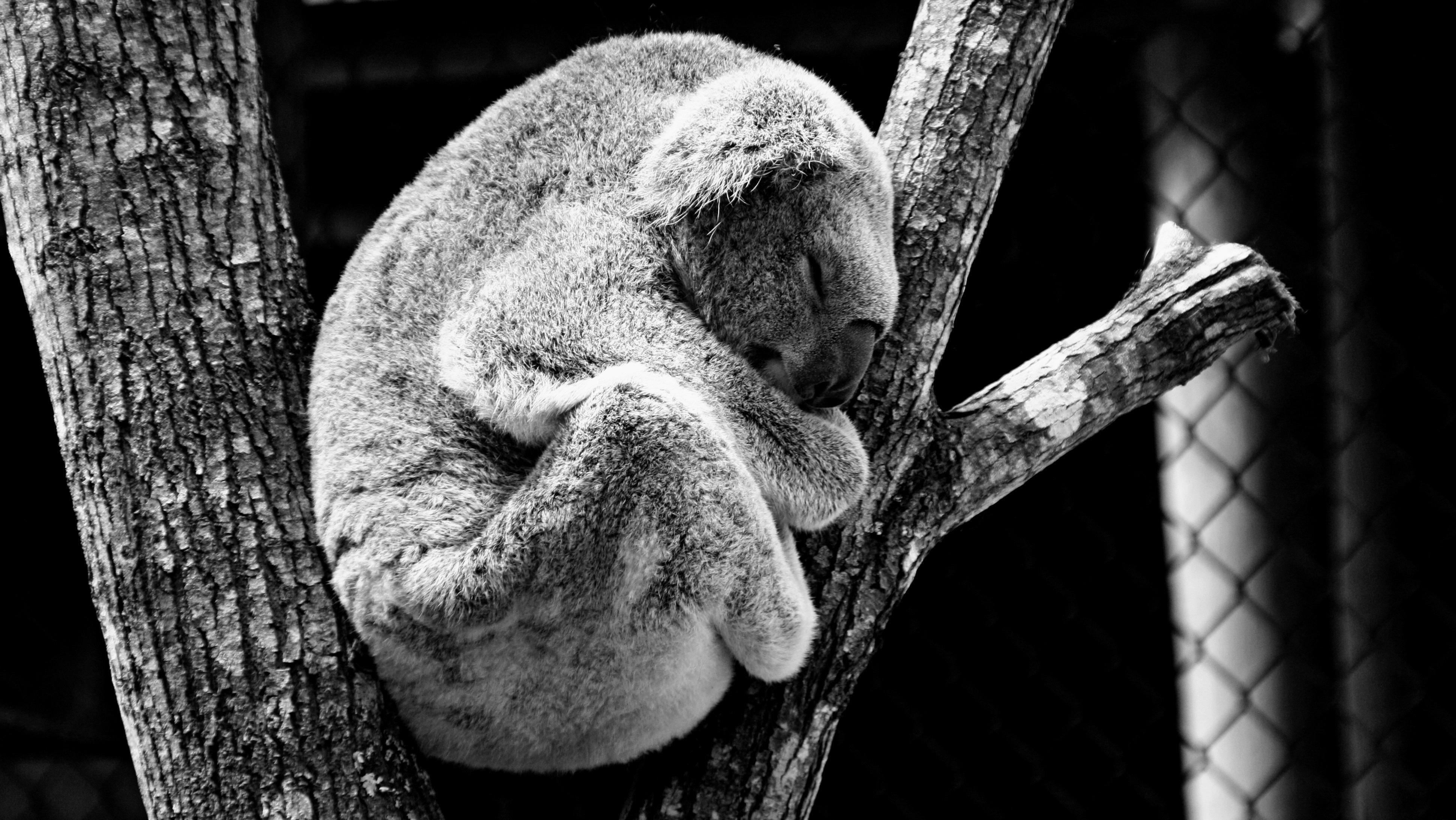 un koala dort dans un arbre profondément, il semble que rien ne puisse le réveiller